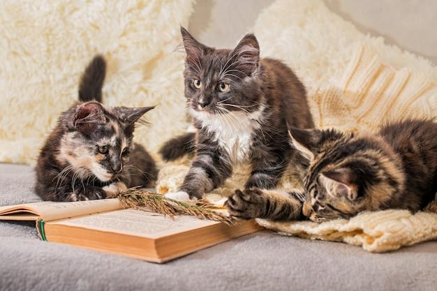 Tre gattini maine coon giocano sdraiati su un maglione lavorato a maglia accanto a un libro aperto in un'atmosfera accogliente