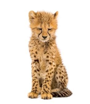 Cucciolo di ghepardo di tre mesi seduto, isolato su bianco