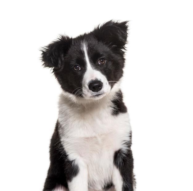 Tre mesi di età cucciolo bianco e nero border collie dog sitter contro il bianco