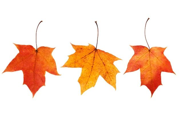 Tre foglie di acero naturali isolate su fondo bianco