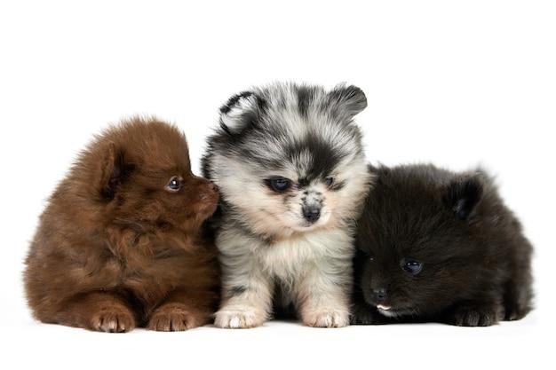 Tre cuccioli di spitz di pomerania isolati. simpatici cani di pomerania su sfondo bianco, marrone, nero e grigio. razza spitz di razza, cani pom divertenti per famiglie.