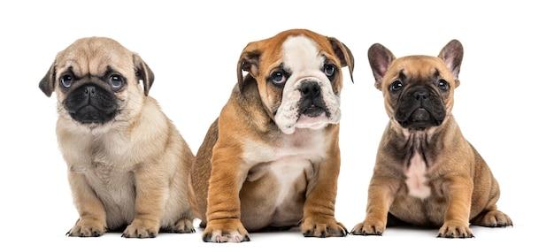 Tre cuccioli fianco a fianco, isolati su bianco