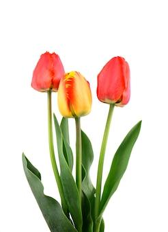 Tre tulipani rossi isolati su spazio bianco