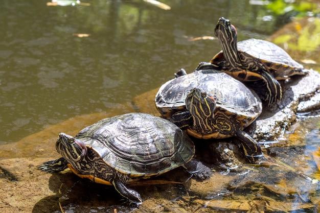 Tre tartarughe semiaquatiche trachemys scripta giacciono sulla riva vicino all'acqua