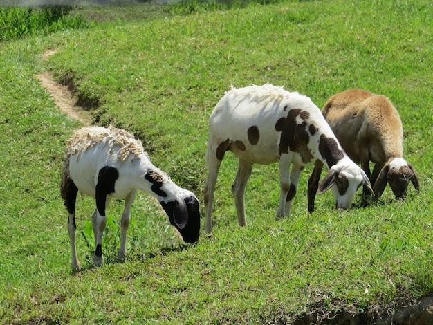 Tre pecore al pascolo