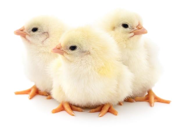 Tre piccoli polli isolati su bianco