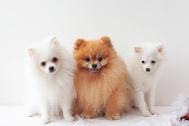 Tre cani di piccola taglia un pomerania adulto di colore arancione lanuginoso e due cuccioli di pomerania bianco