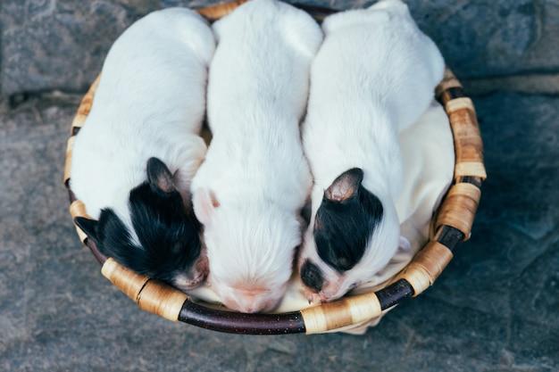 Tre piccoli cuccioli di razza setter inglese con gli occhi chiusi in un cesto di legno. copia spazio.