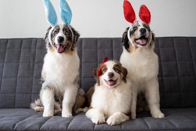 Tre piccoli divertenti simpatici pastori australiani blue merle cucciolo di cane indossando orecchie da coniglio. arco rosso. pasqua. rosso tre colori.