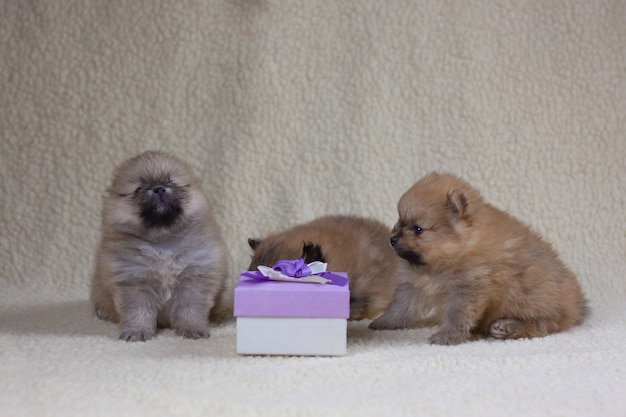 Tre piccoli cuccioli di pomerania di un mese siedono accanto a una confezione regalo. concetto di vacanza e regalo, cucciolo come regalo.