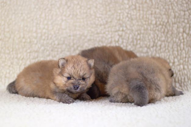 Tre piccoli cuccioli di pomerania di razza pura, di colore arancione si trovano su uno sfondo chiaro. allevamento di cani di razza.