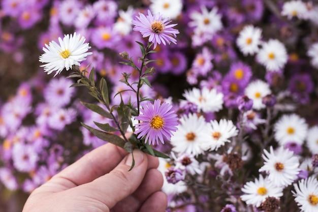 Tre piccoli astri di settembre in un primo piano della mano di una donna su uno sfondo naturale sfocato di fiori