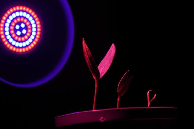 Tre piccoli germogli in un vaso alla luce di un phytolamp. avvicinamento.
