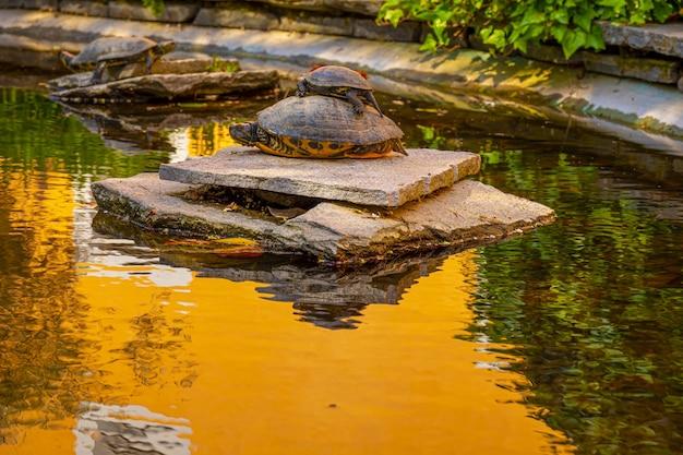 Tre tartarughe che riposano su una pietra su uno stagno d'acqua