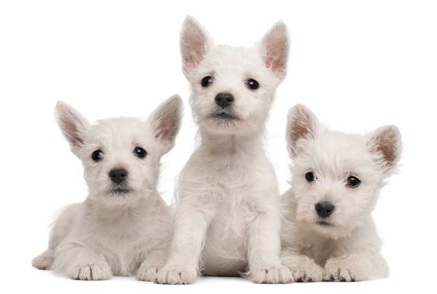 Tre cuccioli di west highland terrier, 7 settimane,