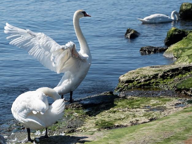 Tre giovani cigni bianchi sulla riva del lago, uno con le ali spiegate