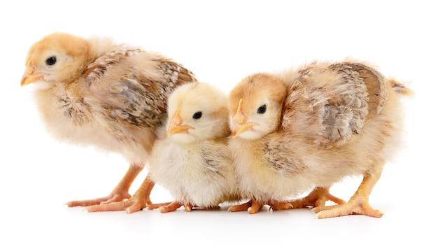 Tre polli gialli isolati su bianco