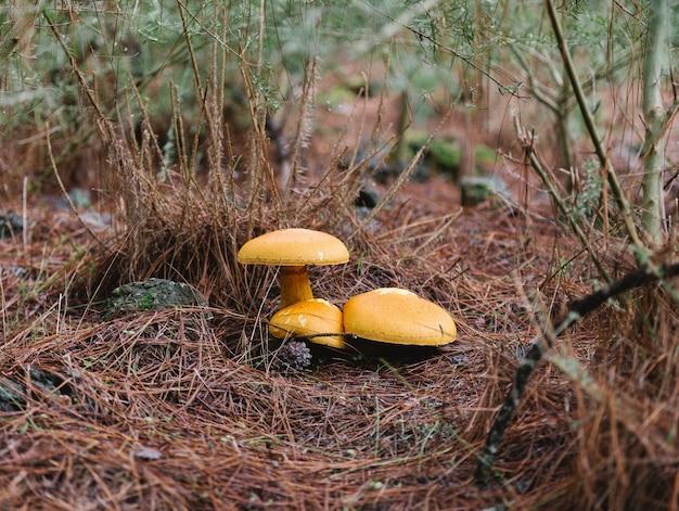 Tre finferli gialli falsi sul fuoco selettivo del pavimento della pineta