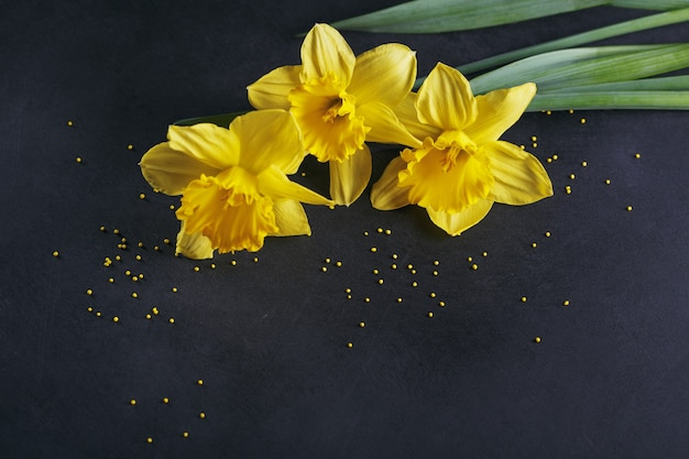 Tre narcisi gialli su sfondo scuro. sfondo primaverile con fiori e puntini gialli.