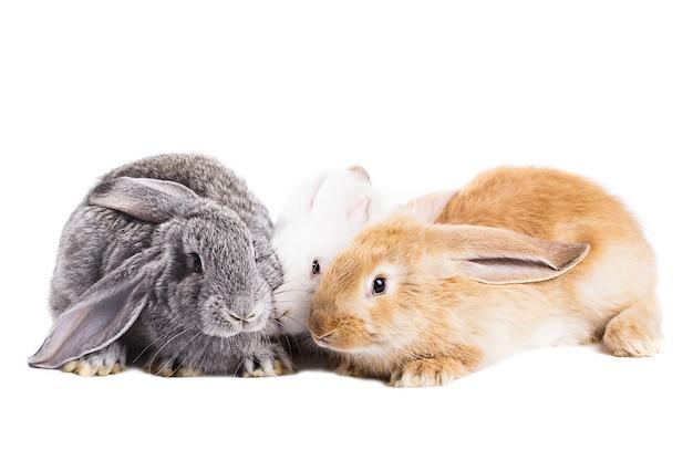 Tre giovani conigli su sfondo bianco isolato