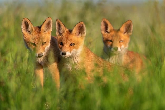 Tre giovani volpi rosse in erba su una bella luce