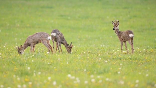 Tre giovani caprioli al pascolo su un prato verde fresco con erba in primavera