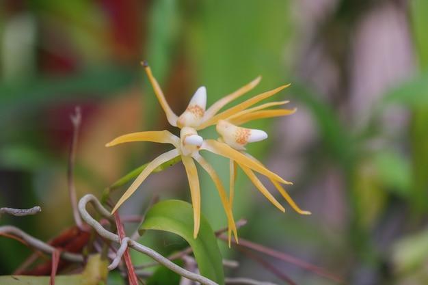 Il centipeda di thrixspermum è un primo piano di fioritura dell'orchidea gialla nel brunch