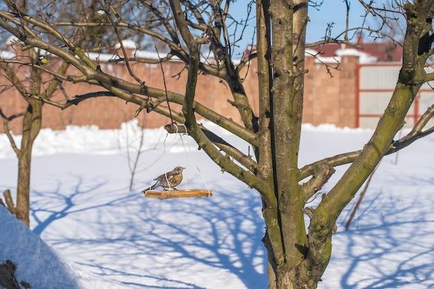 Uccello del tordo sull'alimentatore all'inverno, fine su, ukraine