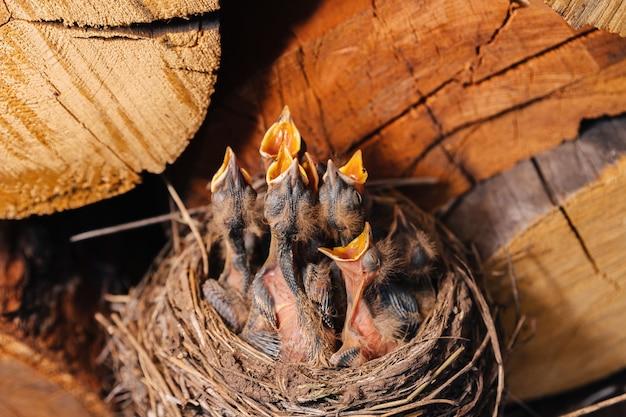 Nido di tordo. nido d'uccello nella legnaia. merlo dei pulcini appena nati. i pulcini affamati alzano lo sguardo, aprono il becco e piangono.