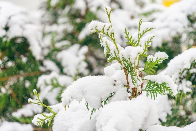 Rami di thuja coperti di neve nel parco cittadino. stagione invernale.