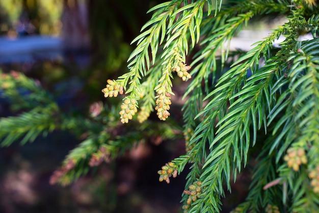 Thuja occidentalis è una conifera sempreverde, nella famiglia dei cipressi cupressaceae.un urto su un ramo. blossom.primo piano primavera nella foresta