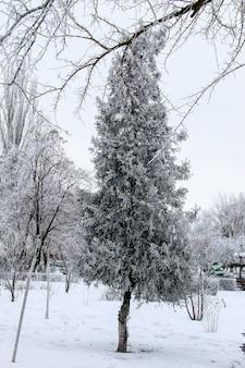 Thuja tree nel parco cittadino d'inverno