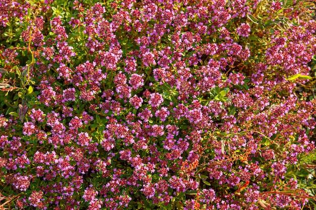 Timo timo in fiore - thymus serpyllum. pianta di timo tappezzante per giardino roccioso.