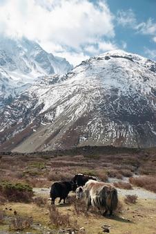 Paesaggio tibetano con yak e montagne innevate.