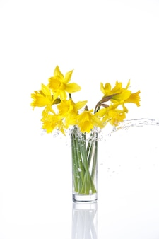 Narciso legato isolato su superficie bianca, fiori estivi in vetro con spruzzi d'acqua, con riflesso
