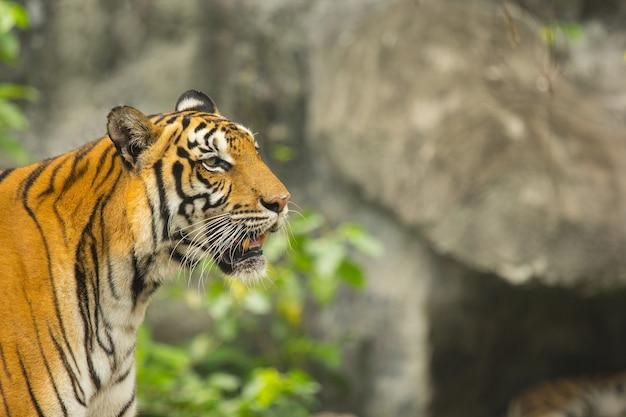 Cacciatore della tigre del bengala nella natura.