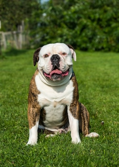 Tiger coat american bulldog cane ritratto nel cortile