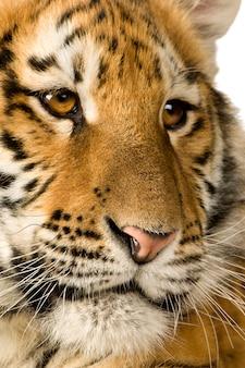 Cucciolo di tigre (5 mesi) davanti su un bianco isolato