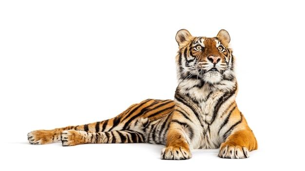 Tigre sdraiata, guardando lontano, grande gatto, isolato su bianco