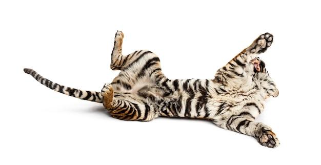 Tigre che gioca sul dorso, isolato su bianco