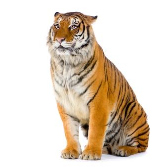 Tiger seduto isolato.