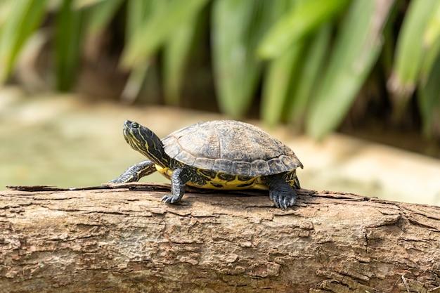 Tartaruga tigre a prendere il sole sul tronco di albero nel lago.