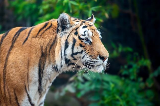Tigre sugli alberi. animale selvatico nell'habitat naturale