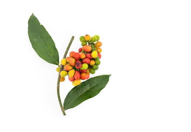 Tiliacora triandra, foglie verdi e frutti isolati su bianco.