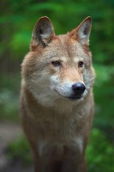 Lupo di legname caccia nella foresta