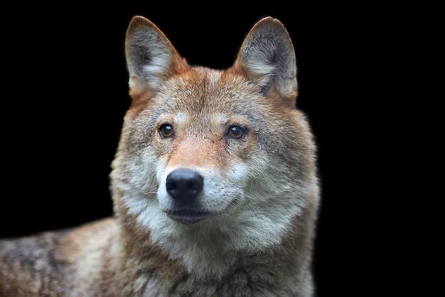 Caccia al lupo di legno nella foresta