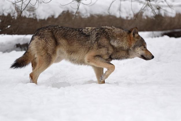 Caccia al lupo di legno nella foresta invernale
