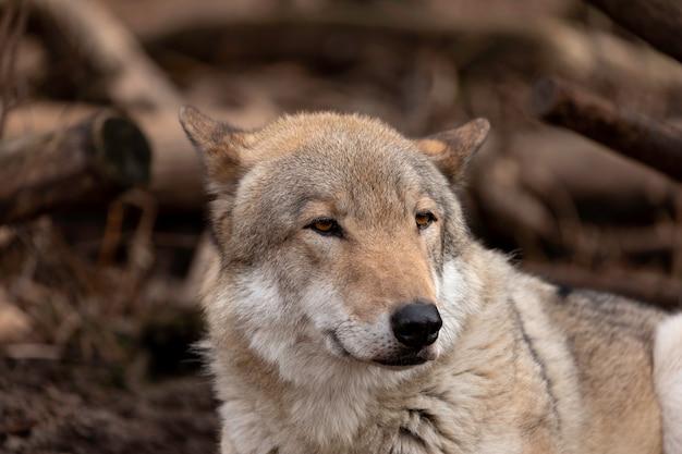 Ritratto di lupo di legname - animale in cattività