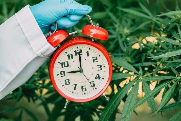 Orologio dei tempi con foglie di piante di marijuana sativa cannabis o canapa per il conto alla rovescia per la legalizzazione del concetto di erbe mediche.