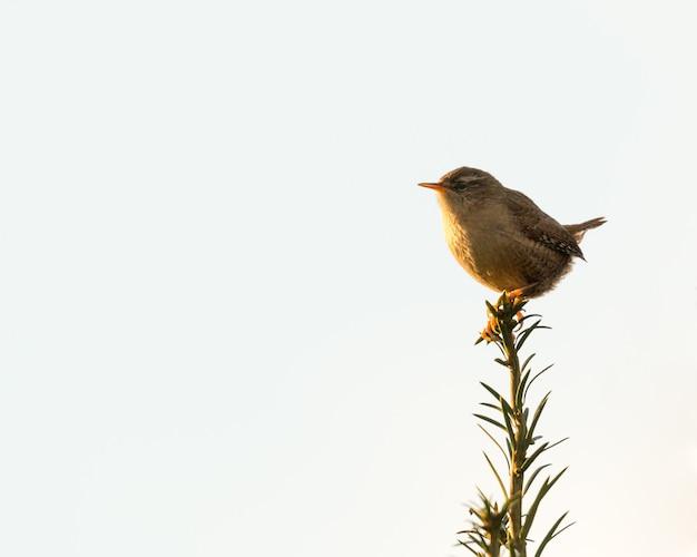 Piccolo scricciolo marrone arroccato retroilluminato su una cima di un albero all'ora d'oro
